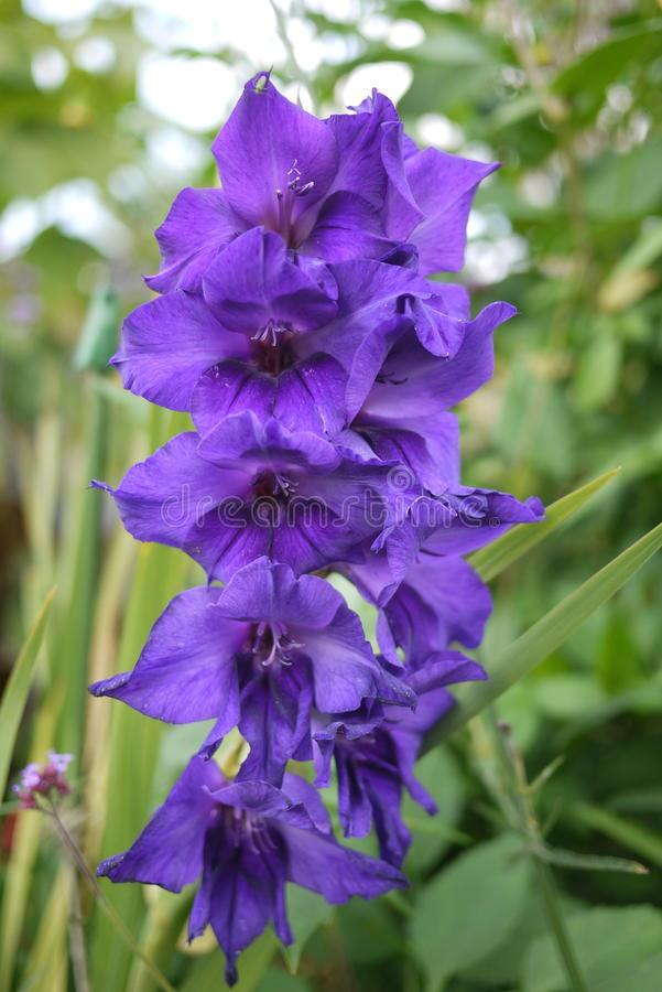 Zgłębia cień purpurowi gladioli z 9 opadającymi kwiatami obraz royalty free