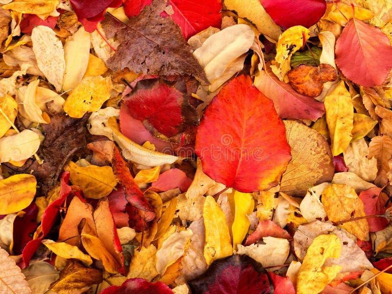 Zgłębia - czerwonego jesień liść fotografia stock