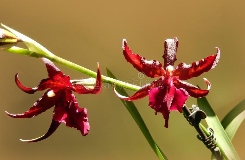 Zgłębia - czerwony orchidei kwitnąć obraz royalty free
