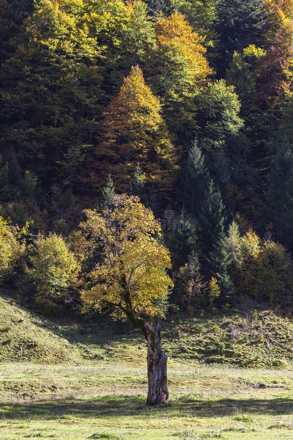 Zgięte żółte drzewo klonowe w Ahornboden obrazy stock
