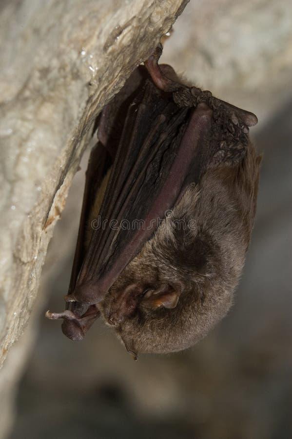Zginający pospolity miniopterus schreibersii, odpoczywa w jamie fotografia royalty free