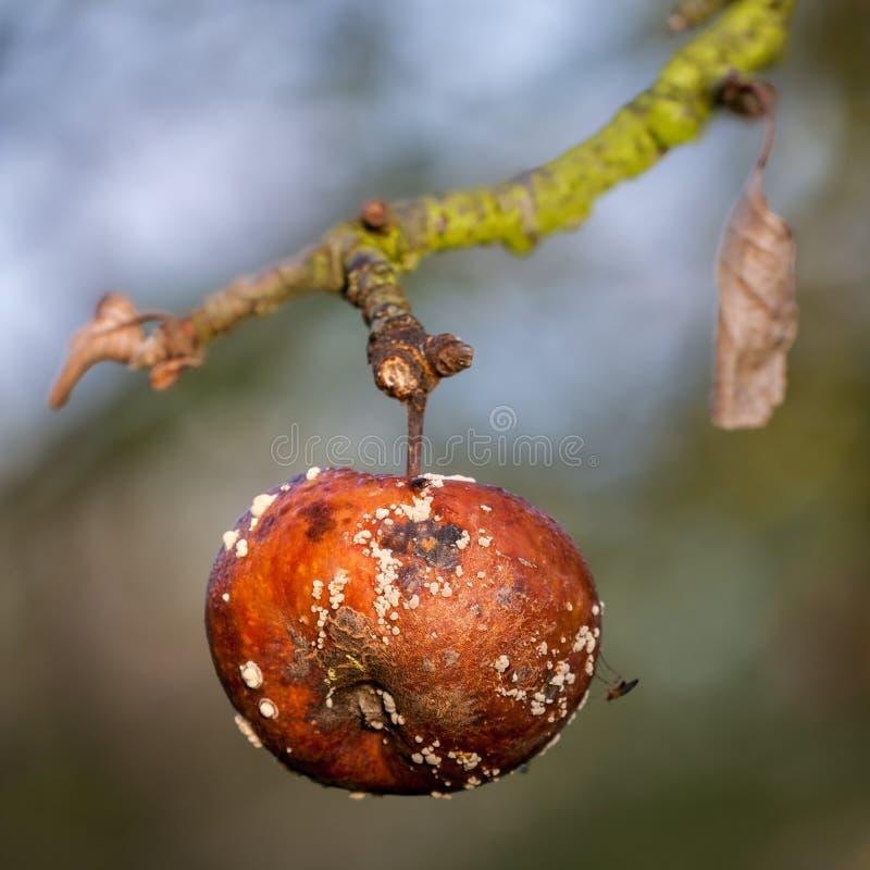 zgniłe jabłko obraz stock