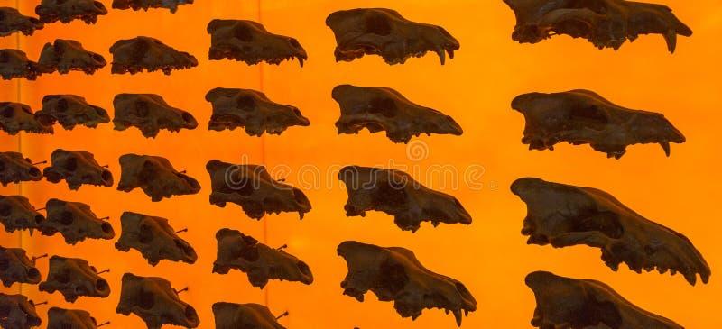 Zgubny wilczy czaszka pokaz obraz royalty free