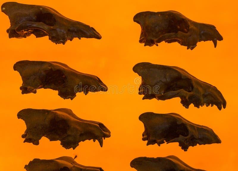 Zgubny wilczy czaszka pokaz fotografia royalty free