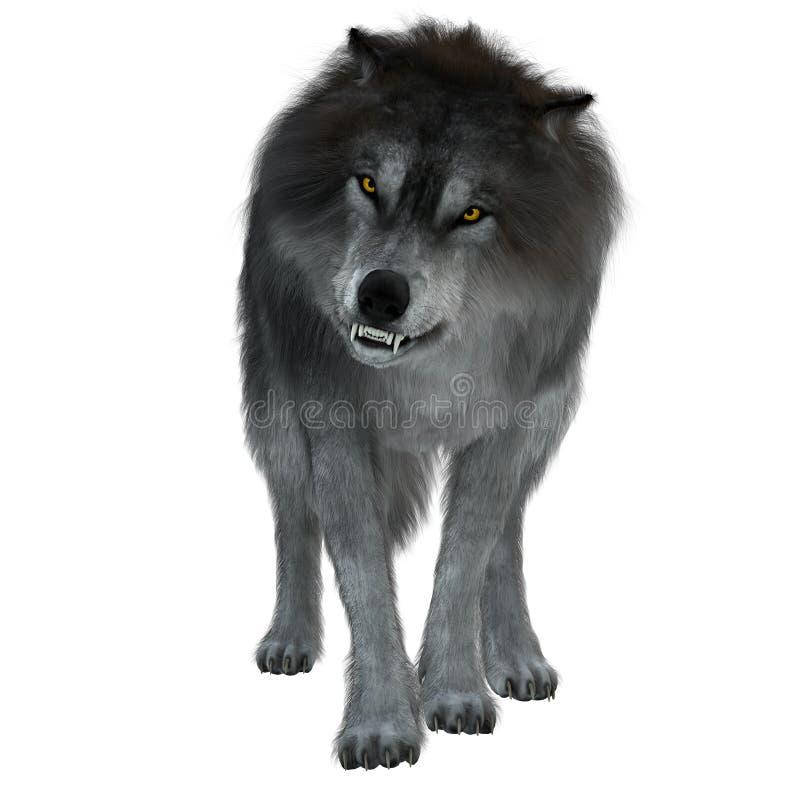 Zgubny wilk na bielu obrazy royalty free