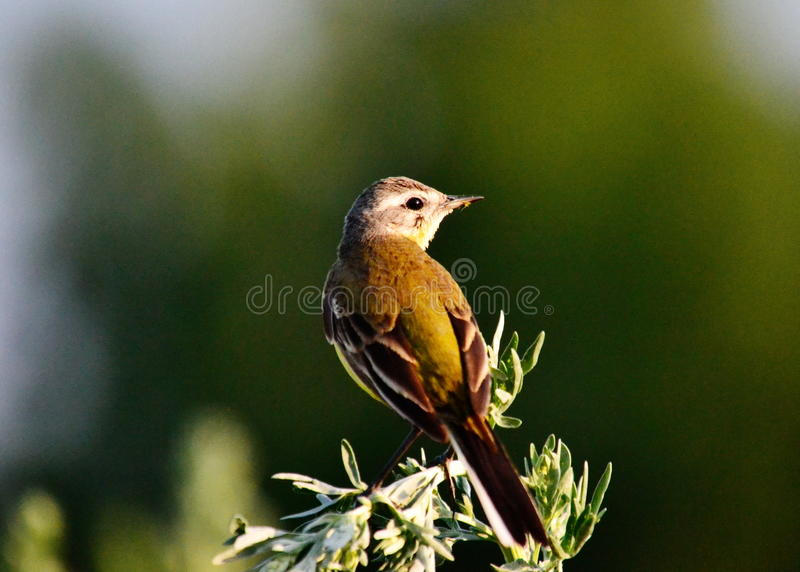 ZHeltaya wagtail. Sits on branch and sings canto stock photography