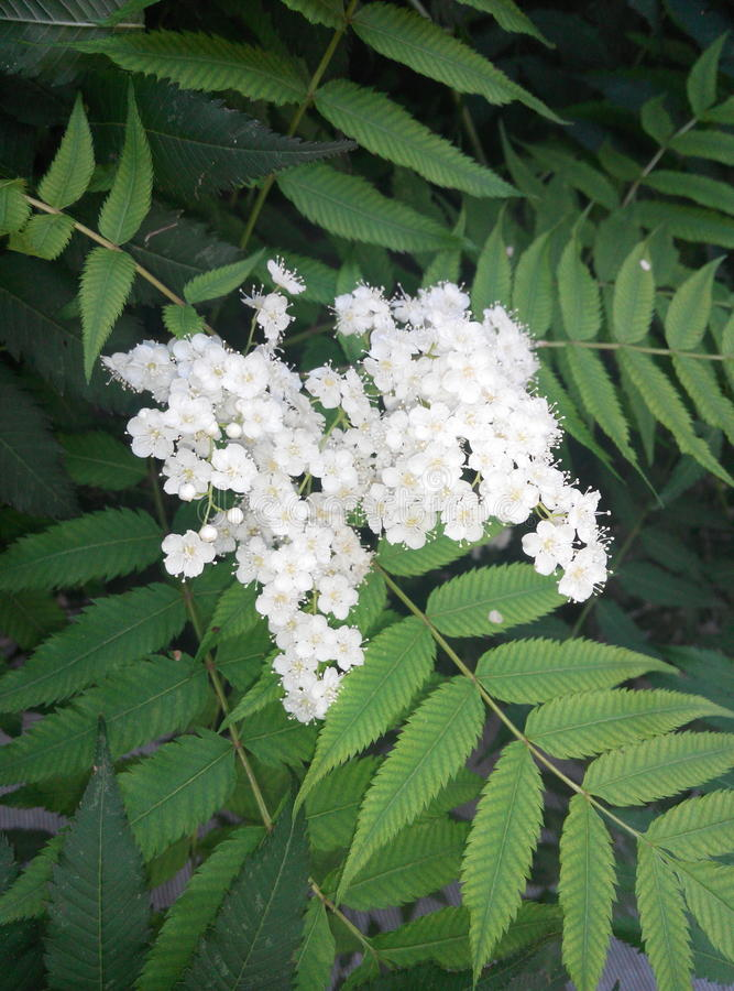ZhenZhuMei (Sorbaria sorbifolia) 免版税库存图片