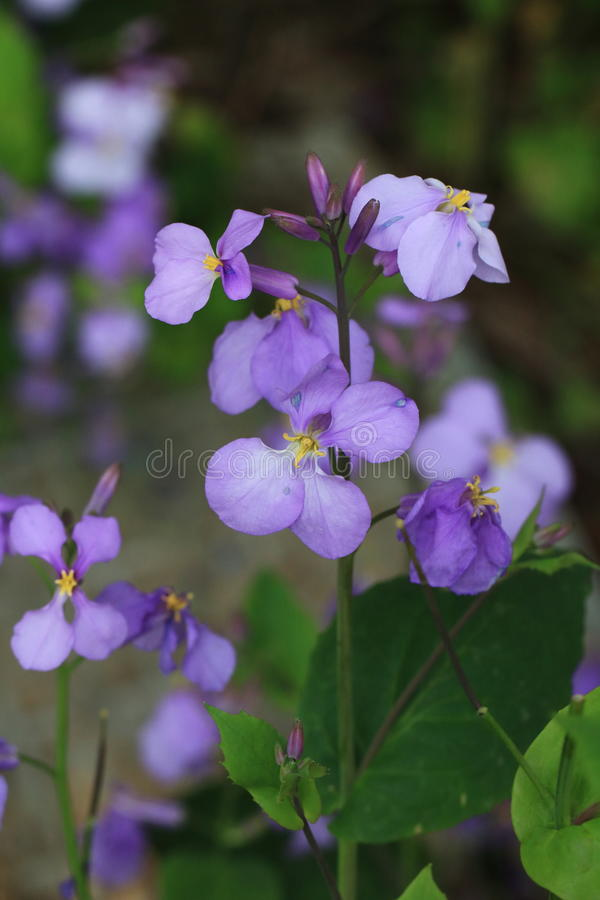 Zhuge cuisine(Orychophragmus violaceus). Orychocarpaceae Cruciferae, one or two year old herbs. Because the lunar month before and after the start of stock images