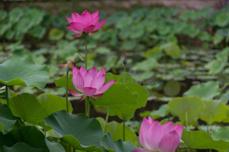 Zhuoqing Lian но не демон, цветок джентльмена стоковое фото