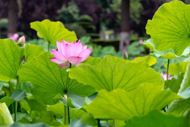 Zhuoqing Lian ma non demone, il fiore di un signore immagine stock libera da diritti