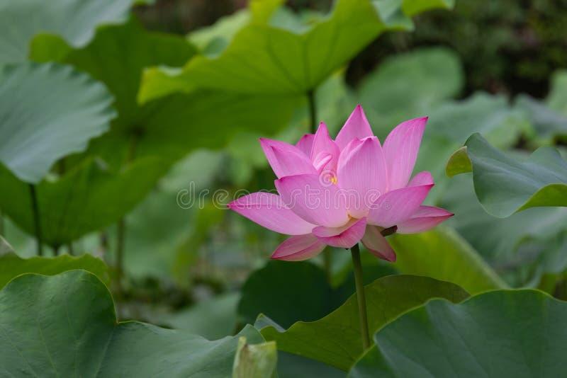Zhuoqing Lian ma non demone, il fiore di un signore fotografia stock