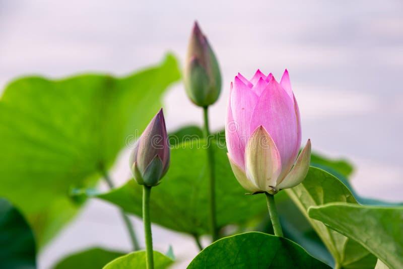 Zhuoqing Lian ma non demone, il fiore di un signore fotografia stock libera da diritti