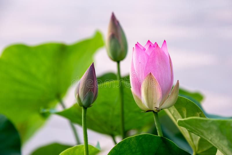 Zhuoqing Lian pero no demonio, la flor de un caballero fotografía de archivo libre de regalías