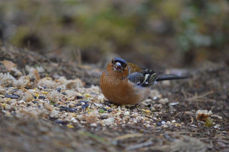 Zięba ptak zdjęcia stock