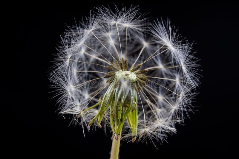 Ziarna dandelion w zakończeniu Adry rozszerzanie się wiatrem cios zdjęcia royalty free