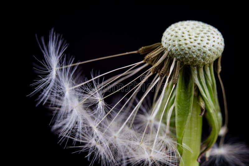 Ziarna dandelion w zakończeniu Adry rozszerzanie się wiatrem cios zdjęcia stock