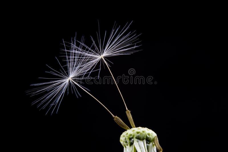 Ziarna dandelion w zakończeniu Adry rozszerzanie się wiatrem cios obraz royalty free