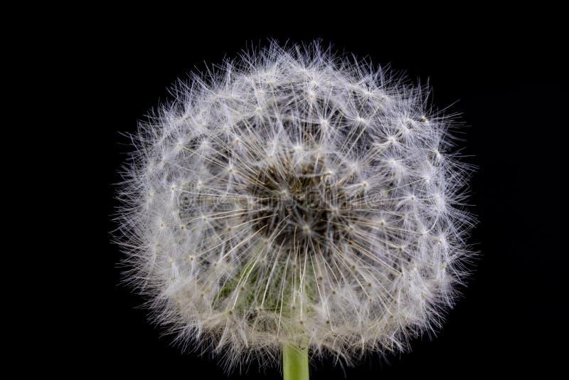 Ziarna dandelion w zakończeniu Adry rozszerzanie się wiatrem cios zdjęcie stock