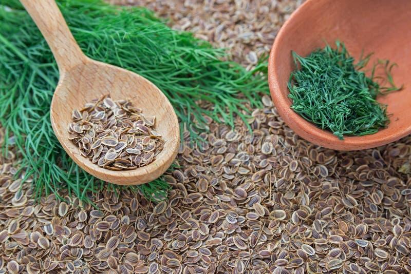 Ziarna koperkowa i świeża zielona koperkowa świrzepa w drewnianych łyżkach Koper zdjęcie royalty free