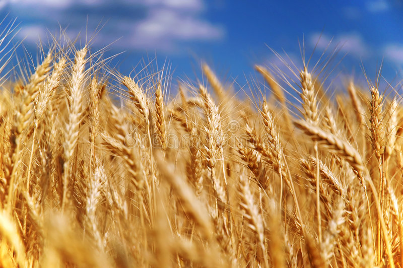 ziarno pola pszenicy zdjęcie stock