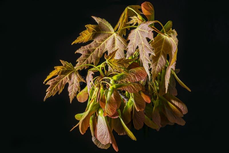 Ziarno strąki i klonowych drzew liście zdjęcia stock