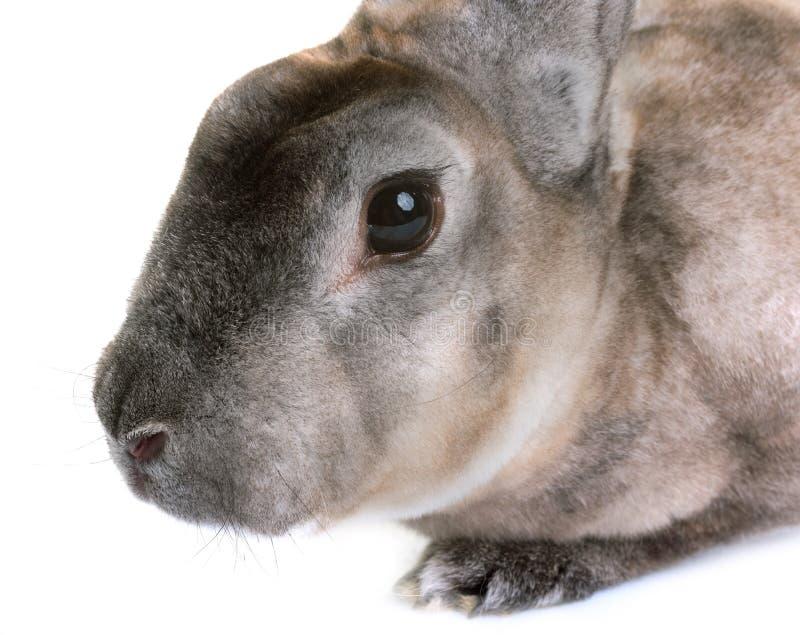 Zibeline Rex królik fotografia stock