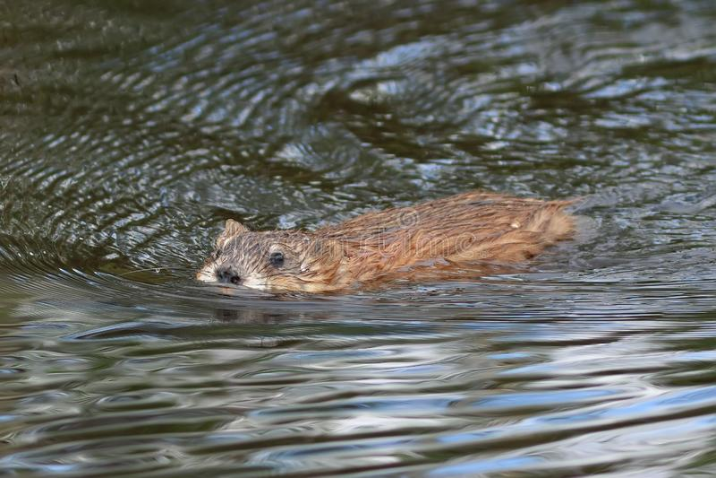 Zibethicus do Ondatra Close-up do Muskrat na água em Sibéria do norte fotografia de stock