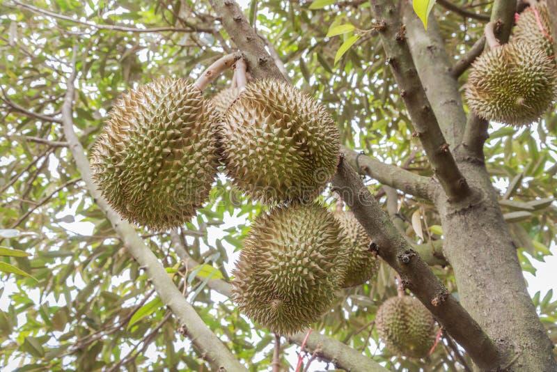 Zibethinuskoning van Duriandurio van tropische vruchten die op brunchboom hangen stock afbeelding