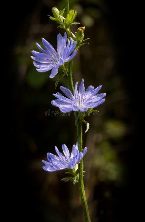 Download Zichorie stockfoto. Bild von kopf, blüte, schwarzes, getrennt - 12201018