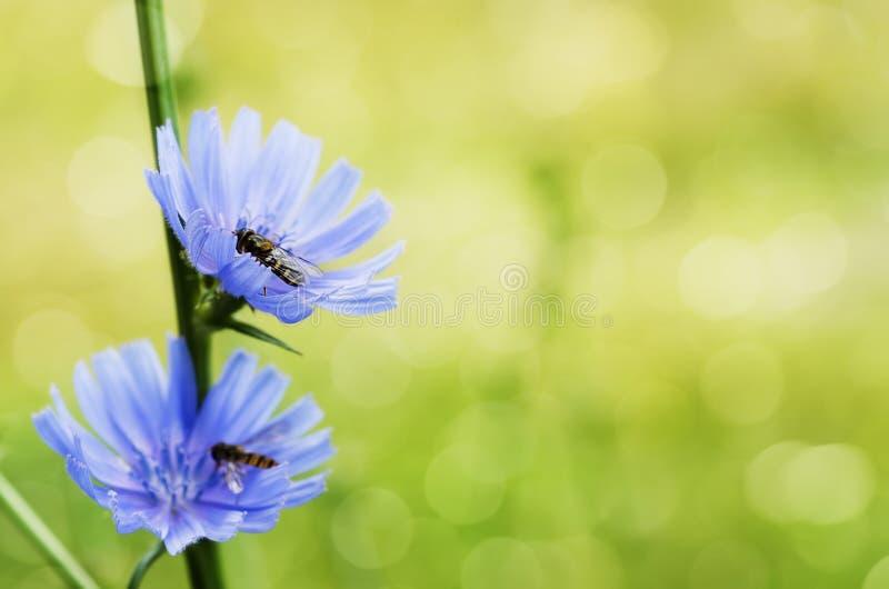 Zichorie-Blume lizenzfreies stockbild