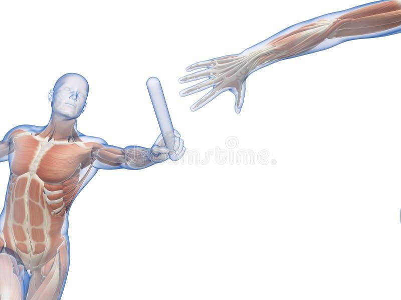 Zichtbare spieren stock illustratie. Illustratie bestaande uit ...