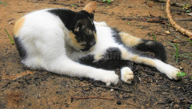 Zichzelf onderhoudende kat royalty-vrije stock fotografie
