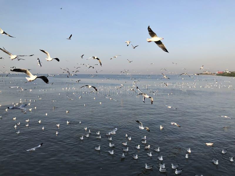 Zie en voed zwermen van zeemeeuwen in Bangpoo in Thailand stock fotografie