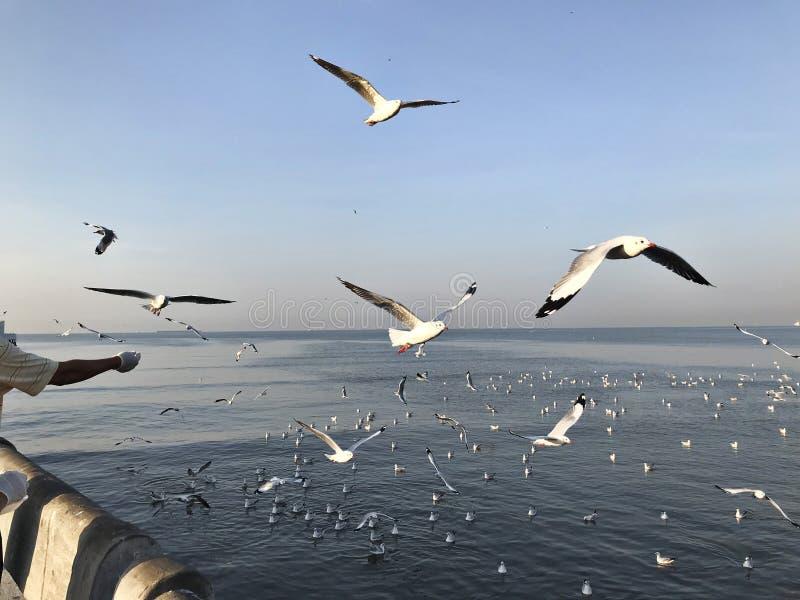 Zie en voed zwermen van zeemeeuwen in Bangpoo in Thailand stock afbeelding