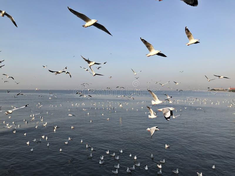 Zie en voed zwermen van zeemeeuwen in Bangpoo in Thailand stock foto