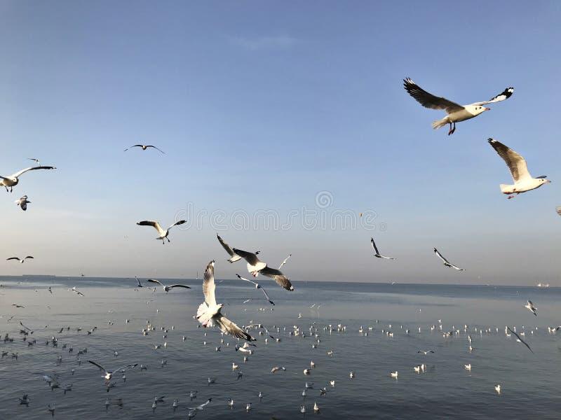 Zie en voed zwermen van zeemeeuwen in Bangpoo in Thailand stock foto's