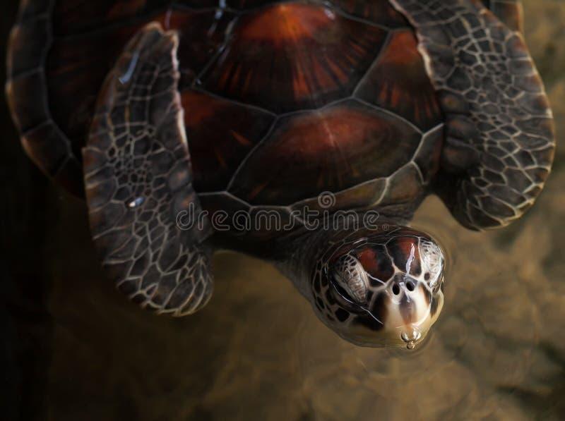 Zie schildpad stock foto