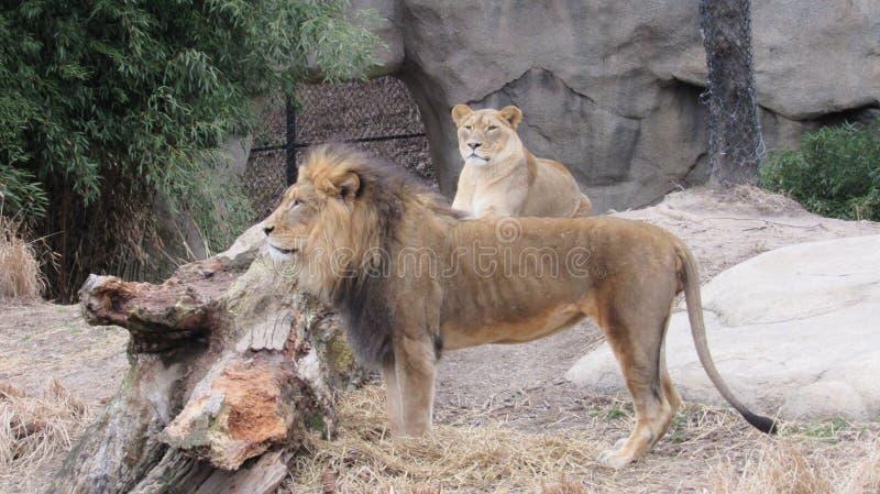 Zie sommige leeuwen in de dierentuin stock afbeeldingen