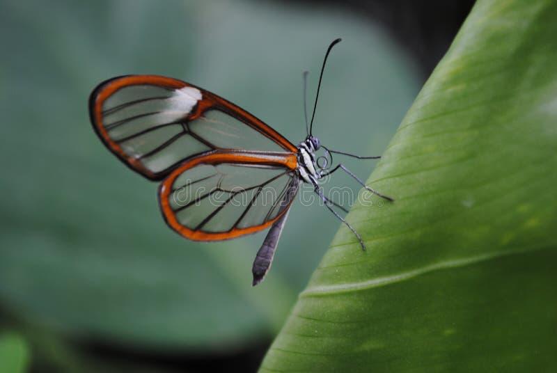 Zie trogvlinder stock foto