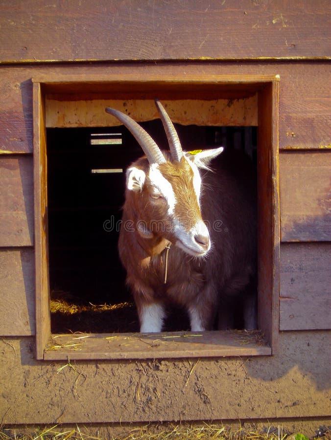 Ziege auf Bauernhof stockfotografie