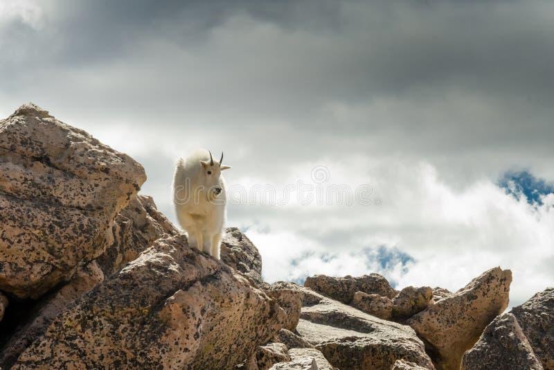 Ziege auf Felsen in den Wolken lizenzfreie stockfotos