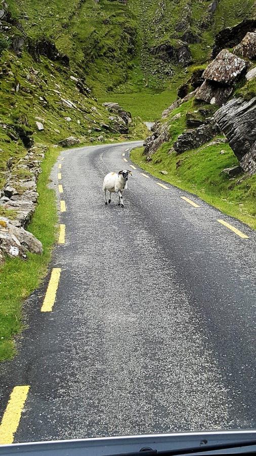 Ziege auf Straße in Irland stockfotografie