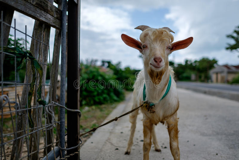Ziege auf Taketomi-Insel lizenzfreie stockfotos