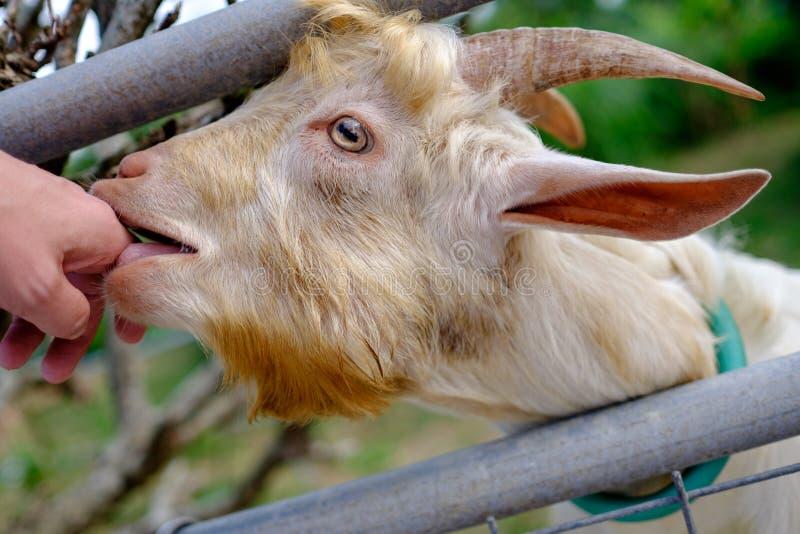 Ziege auf Taketomi-Insel stockbild