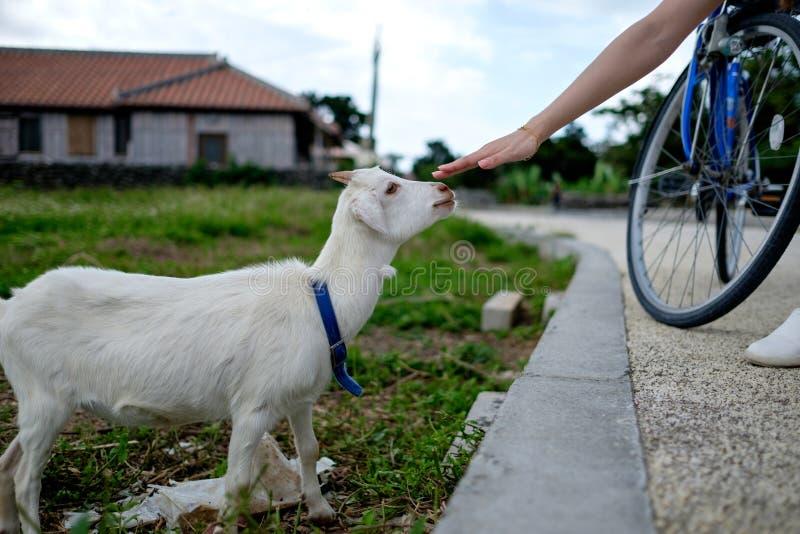 Ziege auf Taketomi-Insel lizenzfreies stockfoto