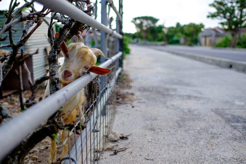 Ziege auf Taketomi-Insel stockfoto