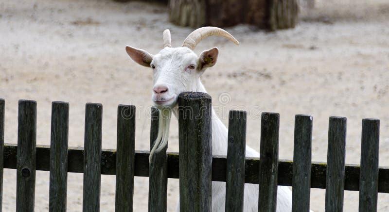 Ziege, die über einem Zaun schaut lizenzfreie stockfotos