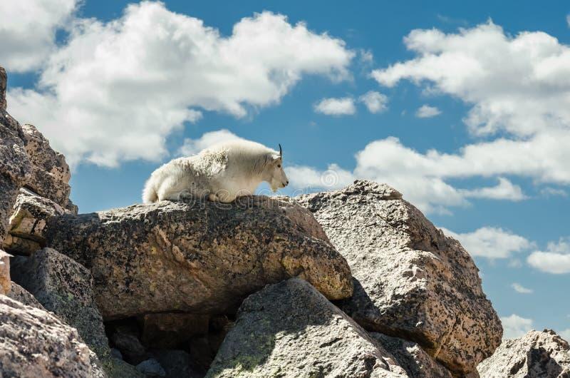 Ziege, die auf Felsen legt lizenzfreies stockfoto