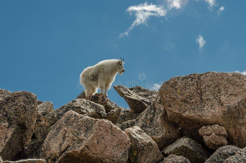 Ziege, die auf Felsen steht lizenzfreies stockfoto