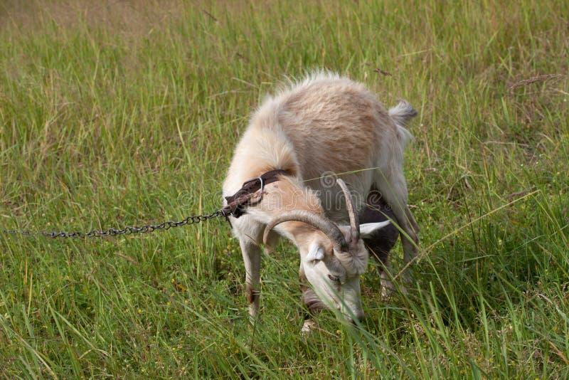 Ziege, die auf Wiese weiden lässt stockbilder